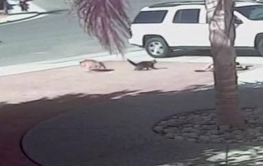 Cat Saves Boy During Vicious Dog Attack