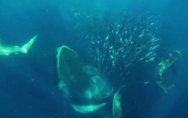 Diver Nearly Swallowed By A Whale
