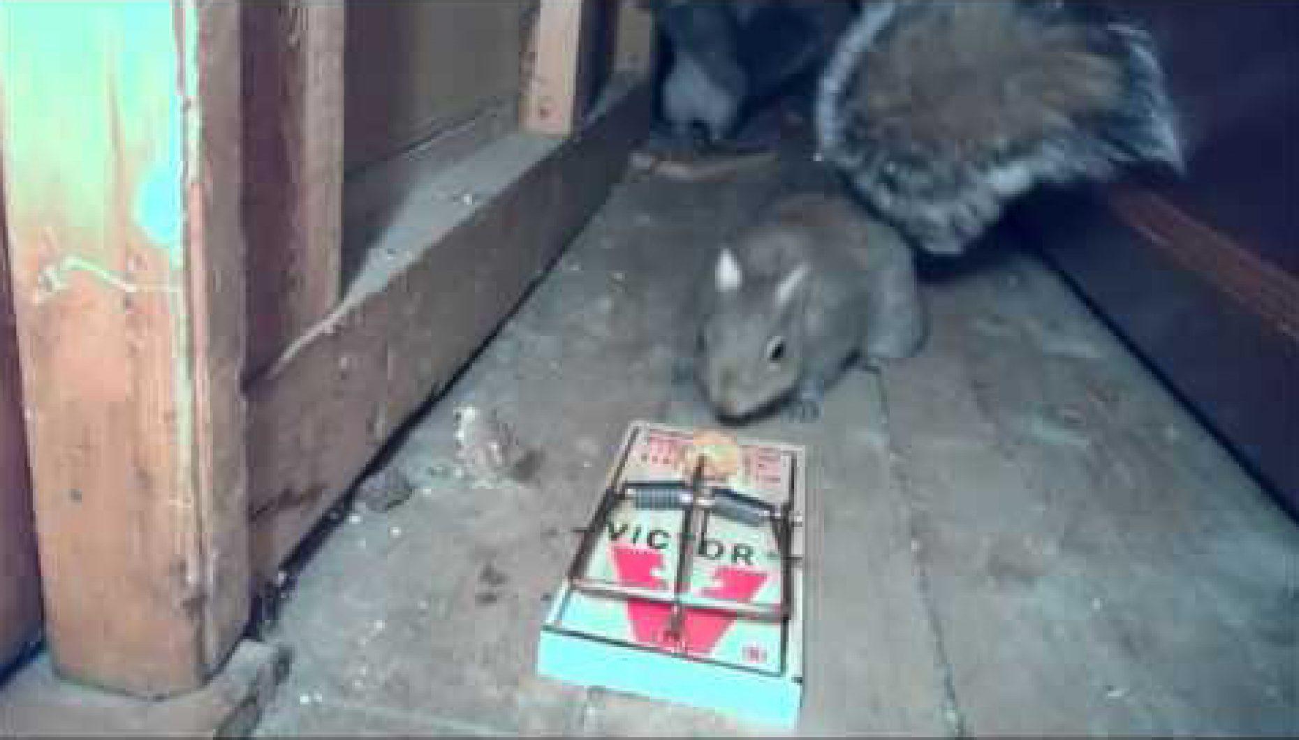 Как поймать крысу, сделать крысоловку своими руками из бутылки 48